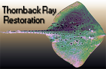 Marine Biology — Thornback Ray Project